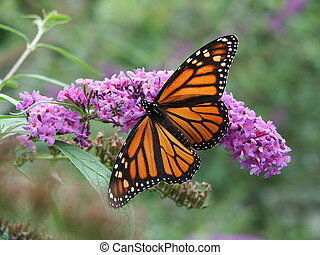 Monarch Butterfly on wild flowers