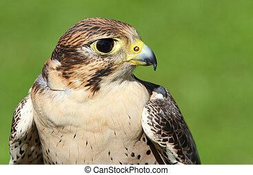 profile of Peregrine Falcon with yellow beak