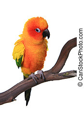 Puffy Sun Conure Parrot Bird