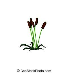 Reeds. On isolated white background. Vector illustration, flat