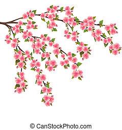 Sakura blossom - Japanese cherry tree over white