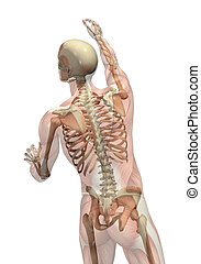 Semi-transparent muscles over skeleton - man seen from back view - turning and reaching up.