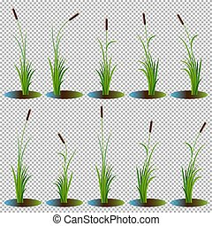 Set of 10 variety reeds with leaves on stem. Reed bulrush plants. Flat vector illustration isolated on transparent background. Clip art for decorate cartoon