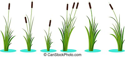 Set of variety reeds with leaves on stem. Reed plant. Flat vector illustration isolated on white background. Clip art for decorate cartoon