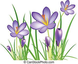 spring crocus flowers, vector illus
