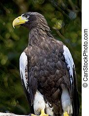 Stellar's Sea Eagle Haliaeetus Pelagicus