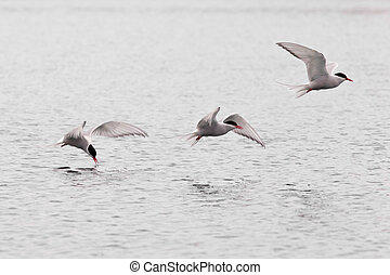 Stroboscopic study of flying Arctic Tern over lake