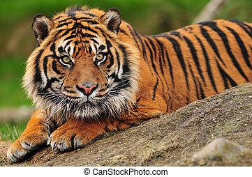 Beautiful sumatran tiger crouching on a rock