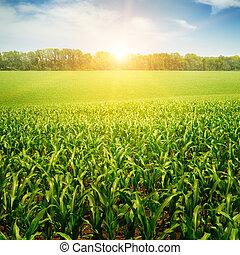 sunrise over the corn field