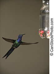 Swallow-tailed hummingbird, Eupetomena macroura