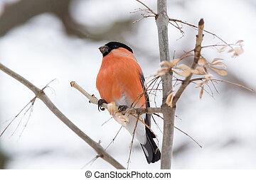 bullfinch on the branch