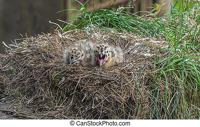 Two Seagull Chicks in the nest
