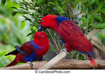 Twoparrots kiss - love birds