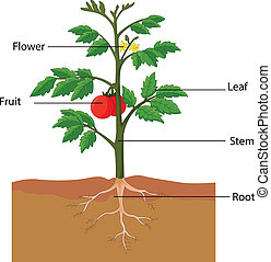 vector illustration of showing the parts of a tomato plant