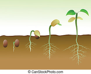 Vector Illustration Of Squence Of Bean Seed Germination In Soil