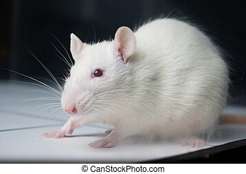 white (albino) laboratory rat on board during experiment