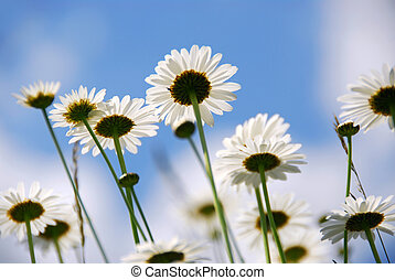 White summer daisies reaching towards blue sky