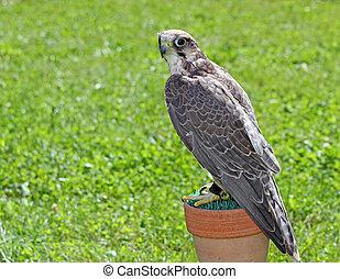 wild peregrine falcon