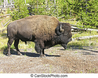 Fauna in Yellowstone during Summer Season