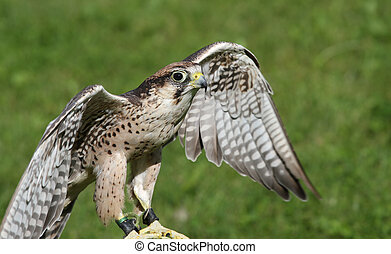 Peregrine Falcon with outstretched wings to fly